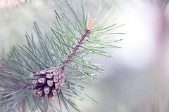 Pine cone on a branch Royalty Free Stock Image
