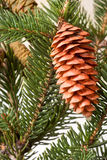 Pine cone on the branch fir close-up Stock Images