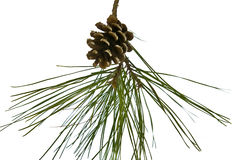 Pine cone on branch isolated on white Royalty Free Stock Photo