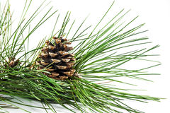 Pine cone on branch Royalty Free Stock Images