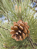 Pine cone on a branch with needles Royalty Free Stock Photos