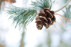 Pine cone on branch with snow