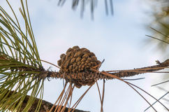 Pine cone on the branch Stock Image