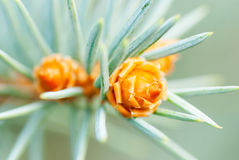 Pine Cone And Branches. Blurry and close-up Royalty Free Stock Photography