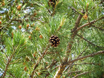 Pine cone Stock Photography