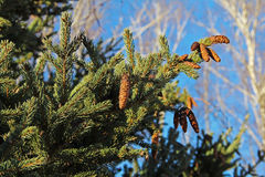Pine cone on branches. Russia. Russia. Pine cone on branches Royalty Free Stock Image