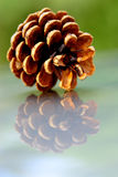 Pine cone close-up Royalty Free Stock Photography