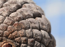 Pine cone, close-up Royalty Free Stock Images