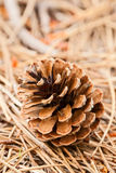 Pine cone closeup Royalty Free Stock Photo