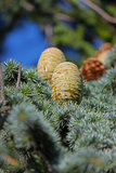 Pine cone closeup Stock Photo