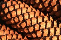 Pine cone, closeup of pine cones, nature, forest Stock Photography
