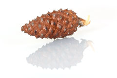 Pine cone closeup on white background Royalty Free Stock Photo