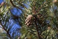 Pine Cone Stock Photography