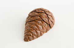 Pine cone. Cut in half Stock Image