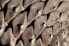 Pine cone detail Royalty Free Stock Photos