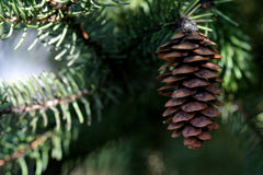 Pine Cone and Evergreen. Close up stock photos