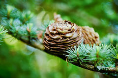 Pine cone and evergreen tree background. Pine cone on an evergreen tree branch background Royalty Free Stock Images