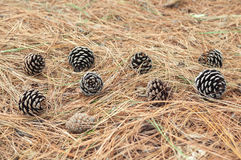Pine cone fallen on the ground among the dry twigs on the ground Stock Photography