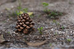 Pine cone fallen on the ground iwith copy space stock image
