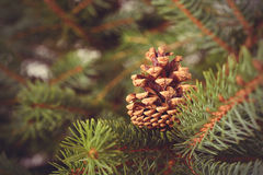 Pine cone on a fir branch Stock Photography
