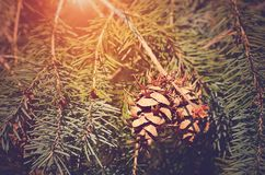Pine cone on fir branch at sunset Royalty Free Stock Photo
