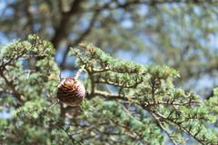 Pine cone in a fir tree. Evergreen. Background Stock Images