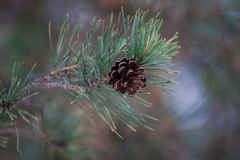 Pine cone in the forest Stock Images