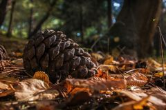 Pine cone forest closeup over leaves stock photo