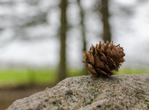 Pine Cone. Gently lying on a rock alone whilst surrounded by all the other cones on the woodland floor Royalty Free Stock Image