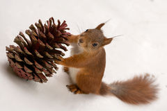 Pine cone gift Royalty Free Stock Photo