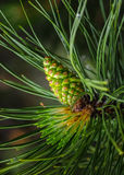 Pine with Cone. Green pine cone on a branch Royalty Free Stock Images