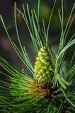 Pine with Cone Royalty Free Stock Image