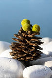 Pine Cone with Green Fruits Royalty Free Stock Image