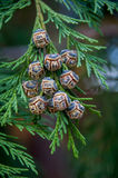 Pine cone with green leafs Royalty Free Stock Photos