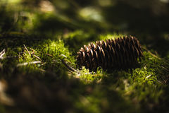 Pine cone on green moss Stock Image