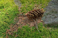 Pine cone on the green moss Stock Photo