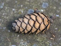 Pine Cone on the ground Royalty Free Stock Photography