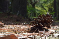 Pine cone on the ground. Close up of a pine cone resting on a forest floor Stock Photography