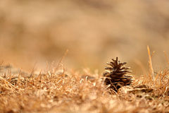 Pine cone on the ground Stock Photography