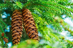Pine cone hanging on the branch Stock Photo