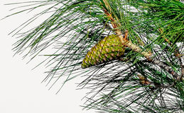 Pine cone hanging on a branch Royalty Free Stock Image