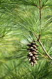 Pine Cone Hanging in Tree stock image