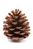 Pine Cone Isolated Stock Images