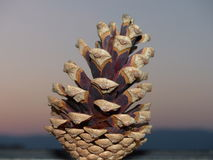 Pine cone. Stock Photography