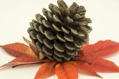 Pine cone Stock Image