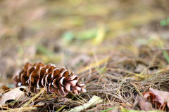 Pine Cone Laying in the Fall Leaves Background Stock Photos