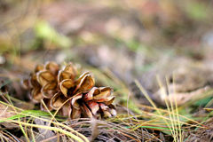 Pine Cone Laying in the Fall Leaves Background Stock Image