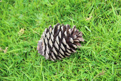 Pine cone lying on the grass Royalty Free Stock Photos