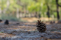 Pine cone lying on the ground with needles Stock Images