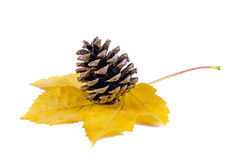 Pine cone on a maple leaf Stock Photo